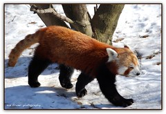 red panda (suesue2) Tags: animal zoo michigan redpanda royaloak detroitzoo specnature suesue2 amazingmich