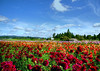 Dahlia field HDR copy (jodi_tripp) Tags: flowers blue sky fall field landscape colorful pacific northwest bright dahlias joditripp challengeyouwinner wwwjoditrippcom photographybyjodtripp