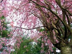 Cherry Blossoms (Painted Skys) Tags: pink flower macro tree cherry outside japanese petals spring branch blossom kodak lexington kentucky blossoms sunny cherryblossom stick buds blooms thursday lexingtoncemetary kodakeasysharez700 diamondclassphotographer flickrdiamond coolestphotographers coolestsphotographers