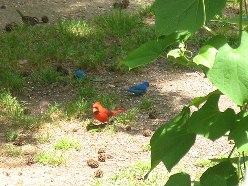 CrabAppleLane Cardinal and Indigo Buntings - April 20, 2008