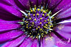 The core (www.saramusico.com) Tags: flower purple flor violet polen fiore ncleo prpura macrophotography morado macrofotografa saramusico