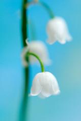 Lily Of The Valley (AlexEdg) Tags: flower macro lensbaby spring may 2008 lensbabies lilyofthevalley macrolens homestudio convallariamajalis alexedg alledges nikond300