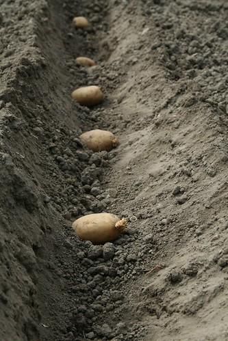 Plantarea cartofilor