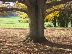 Autumn oak Puahue