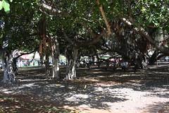 Banyan Tree (x376) Tags: maui banyan lahaina banyantree