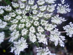 (Jean-Marc Valladier) Tags: flower macro anne lace corsica queen queenanneslace platinumphoto anawesomeshot flickrdiamond macroflowerlovers ombelliferae