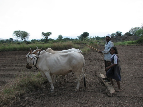 Using cows to plow fields, Tambhol Village, India