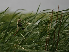 A Windy Day in the Rushes (rivadock4) Tags: cookcounty redwingedblackbird willowsprings hardrain palosforestpreserve