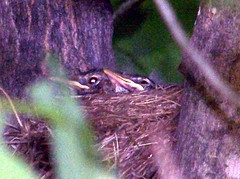 BabyBirds_61208