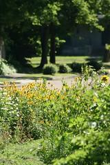 The Neighbor's Yard (Kittie55) Tags: flower garden blackeyedsusan blooming