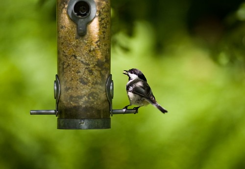 Chickadee with seed