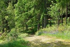 Bluebells (Mac ind g) Tags: blue flower tree forest walking landscape scotland spring flora bluebell trossachs thetrossachs lochlomondandthetrossachsnationalpark achrayforest