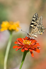 Of butterflies and zinnias (macropoulos) Tags: flower topf25 yellow butterfly 500v20f 500v50f zinnia animalia arthropoda swallowtail gettyimages papilio themoulinrouge insecta naturesfinest papilionidae hexapoda machaon artisticexpression 1500v60f 1000v40f canonef100mmf28macrousm swallowtailbutterflies animalkingdomelite bokehlicious abigfave canoneos400d aplusphoto 50faves50comments500views macrophotosnolimits ysplix lepiroptera macromarvels thegardenofzen thegoldendreams thecolorawards ahqmacro gettyimages:date_added=pre20110607