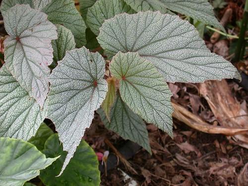 Begonia Sinbad closeup