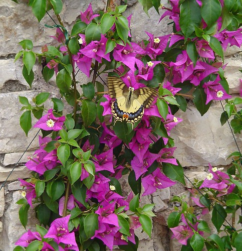 Butterfly on bouganvilla