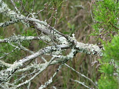 lichen branch (MechKit) Tags: tree lichen marsh