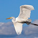Great Egret by Jim Sullivan