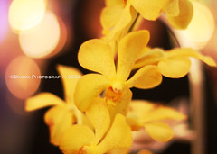 Yellow Bokeh (BASMA.) Tags: flower yellow out lights focus dubai bokeh uae jumairah alarab hbw durj