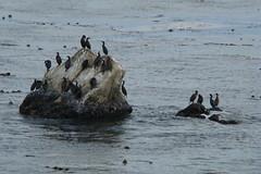 17 Miles-2 黑色鳥站在海中的岩石上