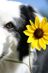 Flower, shmower (Anda74) Tags: canonef50mmf18 explore sunflower bordercollie ouzo sooc straightoutofcamera collieflower