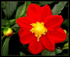 Red and Yellow! (Kurlylox1) Tags: dahlia red summer flower leaves sunshine yellow petals bud happyface fantasticflower