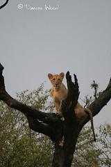 IMG_8744 (Darren Wood) Tags: africa elephant tree grass lion safari cheetah savannah grasslands hunt masaimara governorscamp specanimal ilmoran