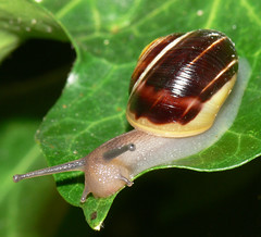 Snail (bramblejungle) Tags: uk wild macro nature garden wildlife snail ivy oxfordshire cepaeahortensis hagbourne easthagbourne whitelippedsnail macromarvels goldstaraward alittlebeauty