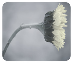 The Fall (Brandon Robbins) Tags: stilllife flower fall nature soft bend round sunflower tone lean atrest