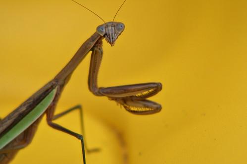 pensive mantis contrast