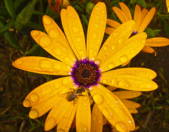I am thirsty (wisenicesam) Tags: flower yellow waterdrop bee thebestyellow auniverseofflowers