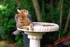 Bird_Watching.JPG (thorntm) Tags: cat nikon birdbath d200 blueribbonwinner beautifulexpression issis shieldofexcellence excapture goldstaraward naturallyartificial mdtpix catnipaddicts