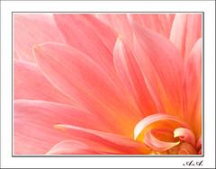 Delicadeza (olyverde2007) Tags: pink dahlia naturaleza flores flower macro nature beauty closeup flor rosa olympus e3 zuiko dalia belleza flore uro 50mmmacroed
