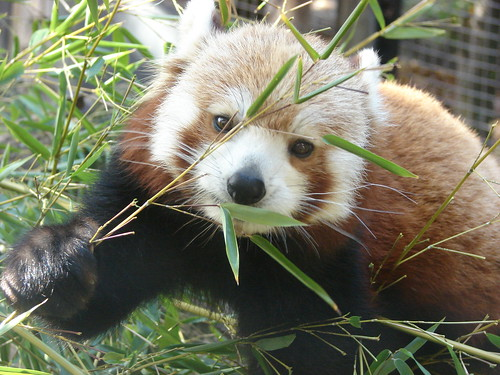 red panda standing. The Red Panda is one of my