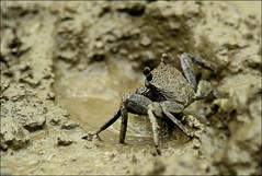 Mud crab (Z.Faisal) Tags: black water station river dark nikon mud crab nikkor bangladesh bangla faisal desh d300 zamir khulna mudcrab sundarban zamiruddin zamiruddinfaisal kalagachi kholpetua ttlsafari kalagachistation kholpetuariver zfaisal