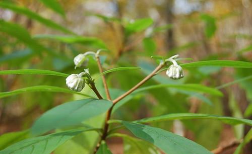 ★ミツマタ(三椏)の蕾と★バイケイソウ(梅�尅�)の新芽