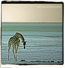 PAN (peo pea) Tags: nature animals wildlife safari giraffe pan namibia etosha giraffa deserto naturalmente aplusphoto peopea artofimages