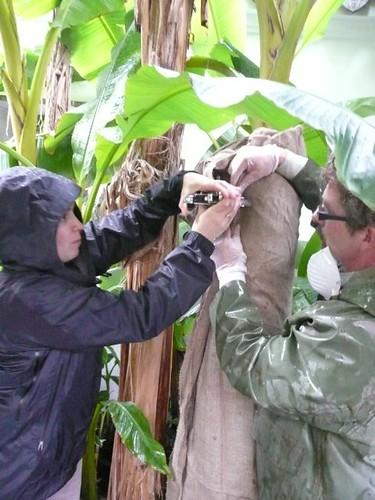 Stapling the burlap around the insulation with plier grip staple gun