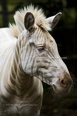 Zoe (Bill Adams) Tags: zoe hawaii explore zebra bigisland animalplanet kailuakona holualoa canonef70200mmf28lisusm whitezebra goldenzebra threeringranch