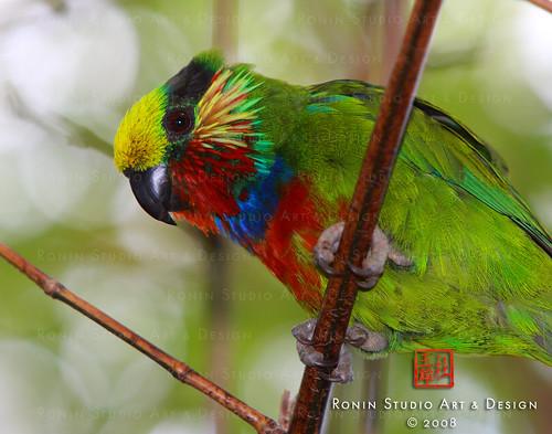 Edward's Fig Parrot