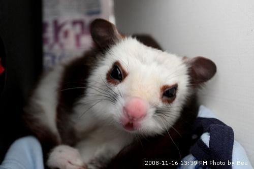 20081116超可愛小飛鼠 (2)