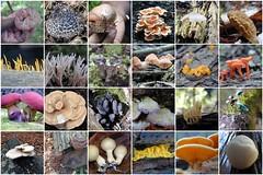known fungus (yakfur) Tags: fdsflickrtoys lifelist mosaic fungus