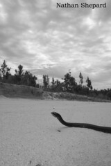 Masticophis flagellum on the move [black and white] (Nathan Shepard) Tags: photography nc nathan north southcarolina research carolina snakes shepard easterncoachwhip masticophisflagellum snakeresearch reptilessnakessouthcarolina2008