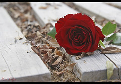 عرفت ان الخريف ارحم على الورده من الانسان .. (Maryam.Ibrahim) Tags: