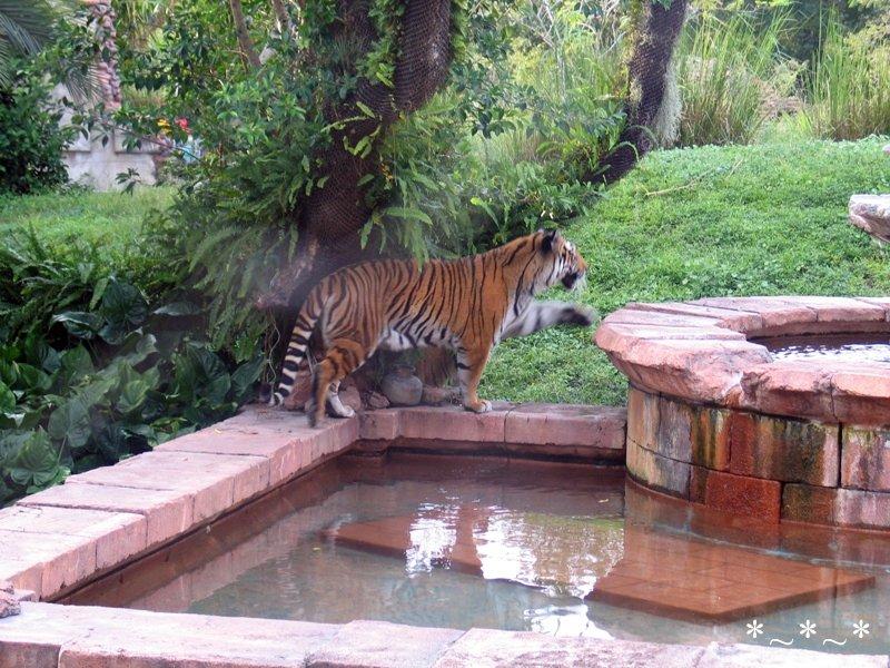 IMG_7078-DAK-one-tiger-pool