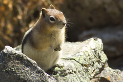 Golden-Mantled Ground Squirrel (sminky_pinky100 (In and Out)) Tags: canada rockies critter wildlife adorable alberta cuteasabutton personalbest goldenmantledgroundsquirrel abigfave omot eyejewel