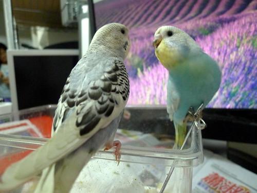小P與Nico