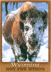Wyoming -  Not for Wimps Bison - TO TRADE (bdsuss) Tags: bison