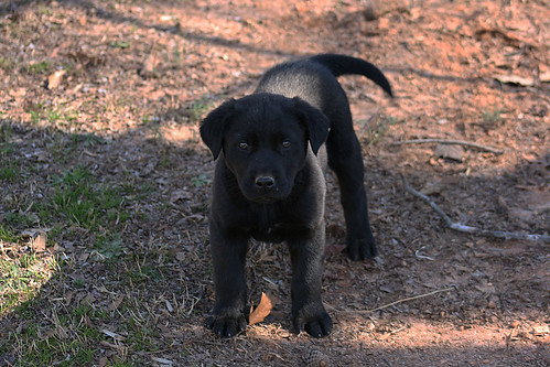 Boomer the Black Labrador Puppy - IMG_6308