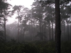 Trees o' the Mist II (Peachy Weasel) Tags: trees mist nature landscape virginia scenery mysterious chincoteague