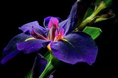 Louisiana Iris (©Delos Johnson) Tags: iris hdr snapdragon d300 artizen catchycolorsviolet